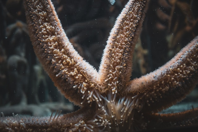 can you eat a starfish